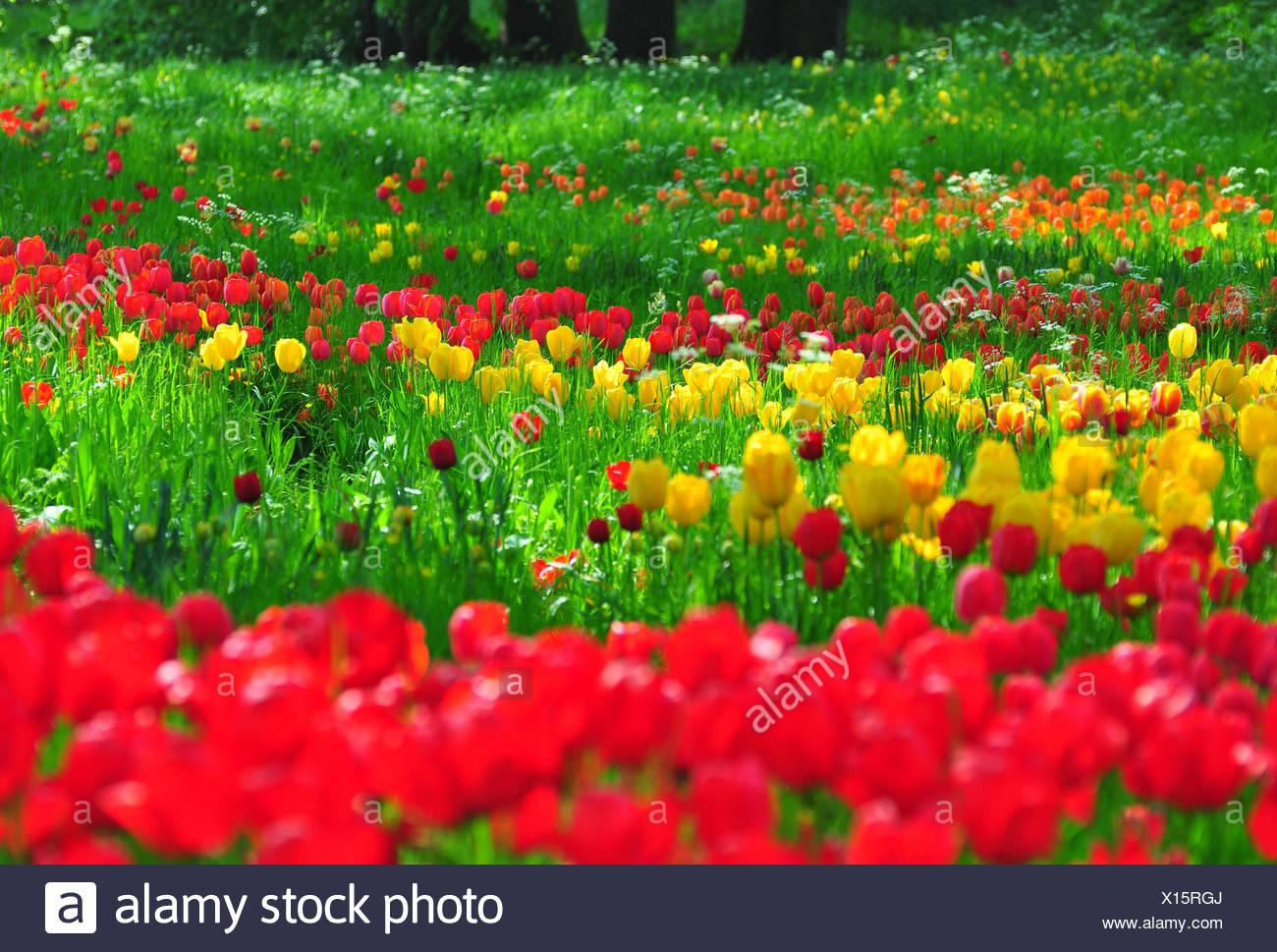 park tulip meadow multicolored tulips - Tulip Garden Near Me