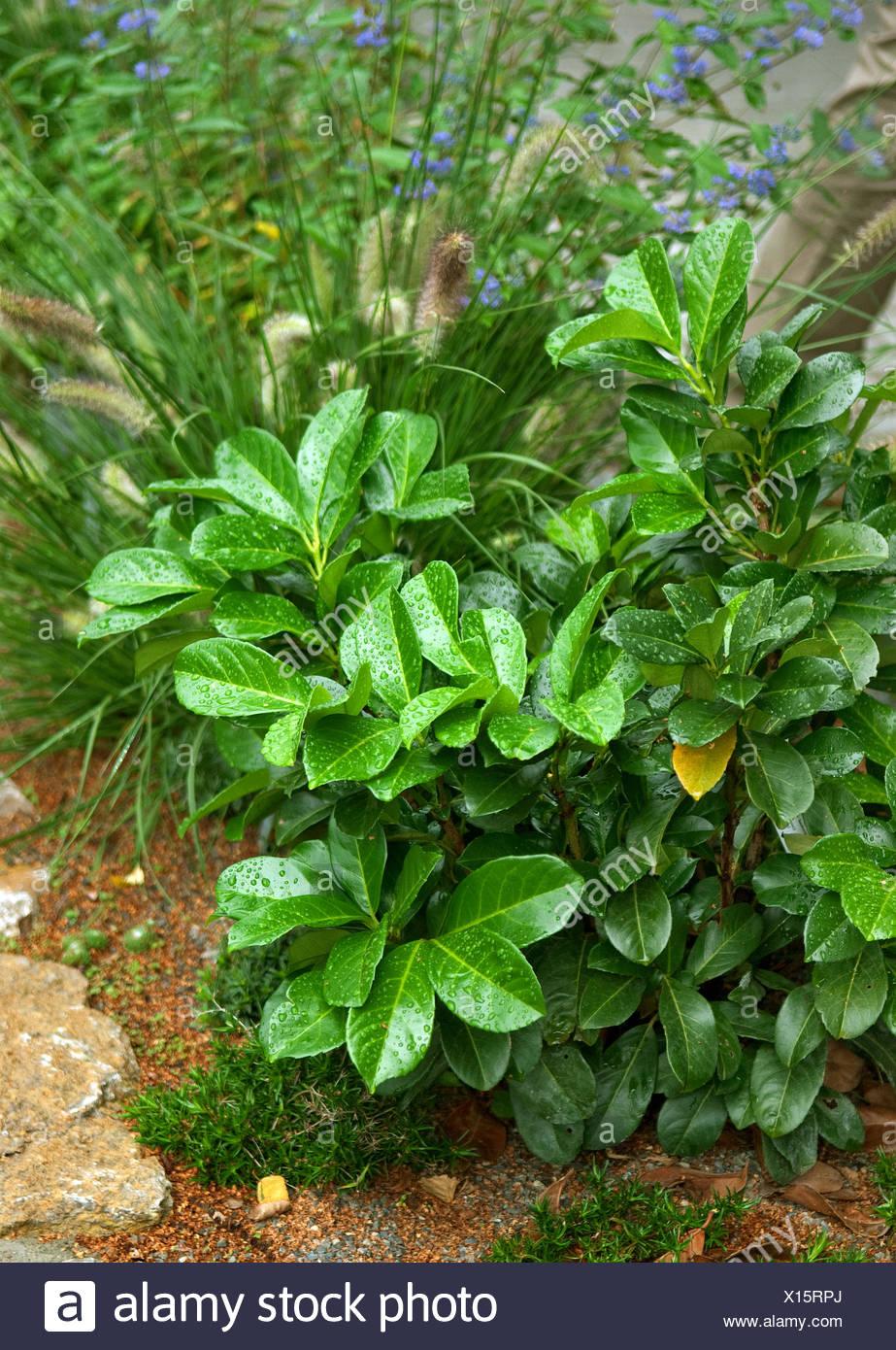 cherry-laurel (Prunus laurocerasus 'Rotundifolia', Prunus laurocerasus Rotundifolia), cultivar Rotundifolia - Stock Image