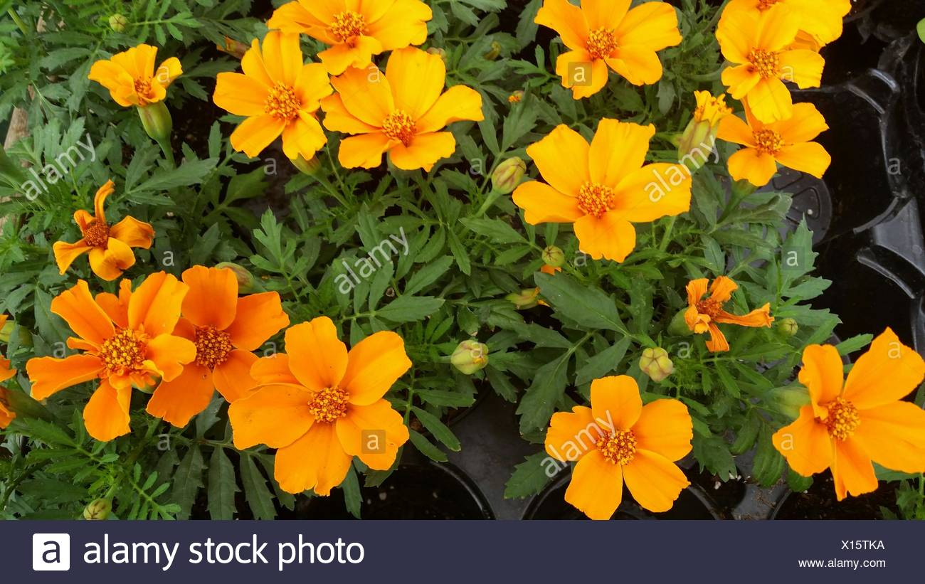 Potted yellow flowers stock photos potted yellow flowers stock close up of yellow flowers blooming on potted plant stock image mightylinksfo