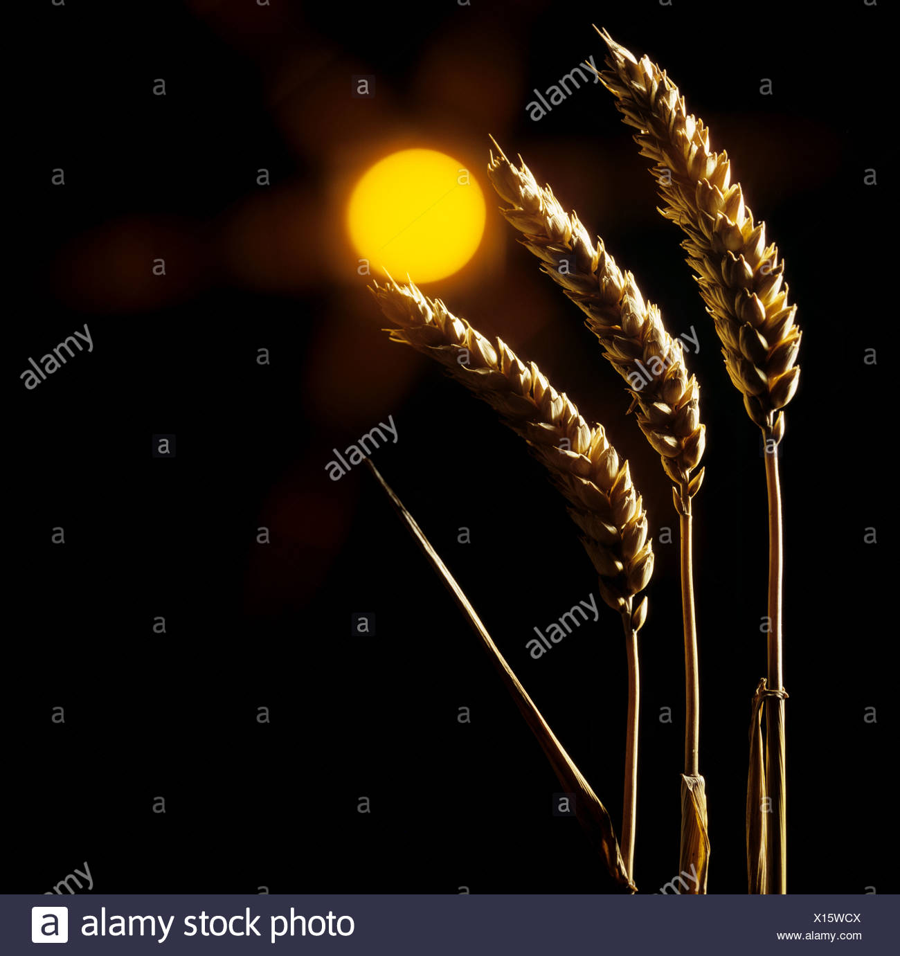 Stylised ears of wheat curved towards a sun with starburst black & orange - Stock Image