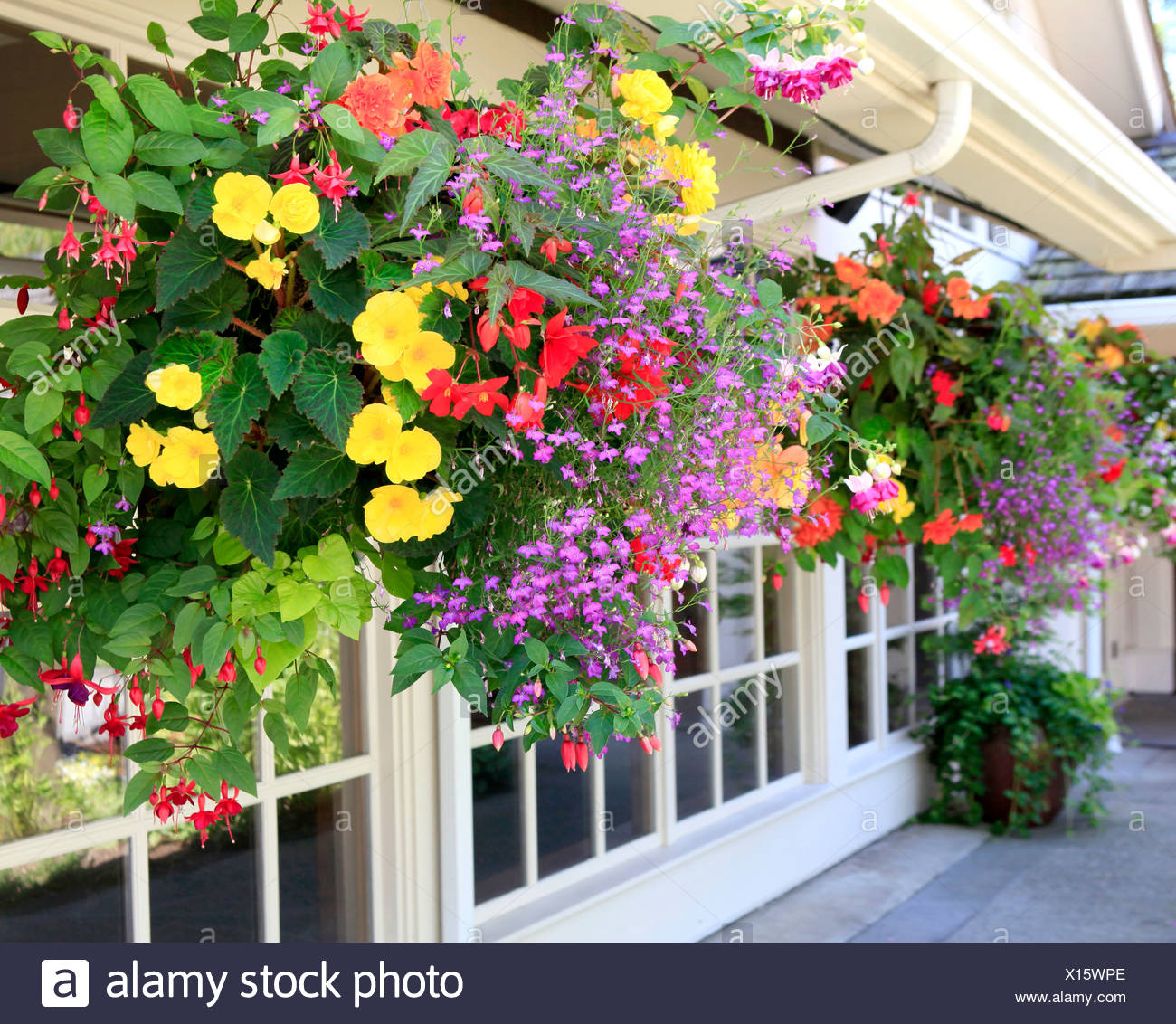 Many hanging baskets with flowers outside of house windows