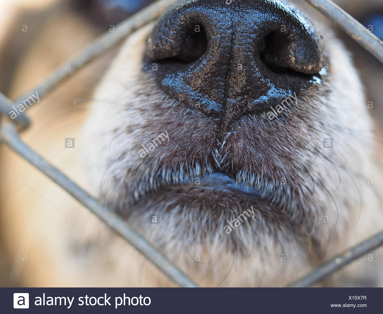 Close-Up Of Dog Snout - Stock Image