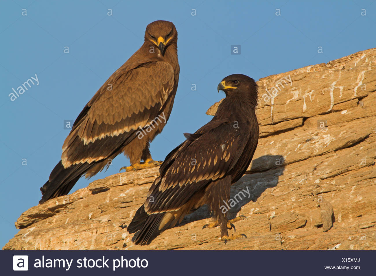 Two Greater Spotted Eagles sitting on a rock - Stock Image