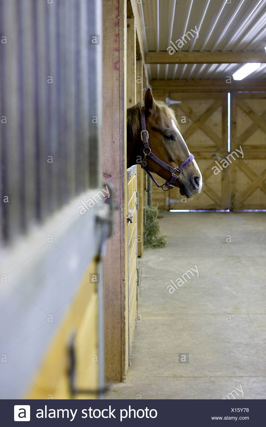 Horse looking out of barn stall, Canada, Ontario - Stock Image