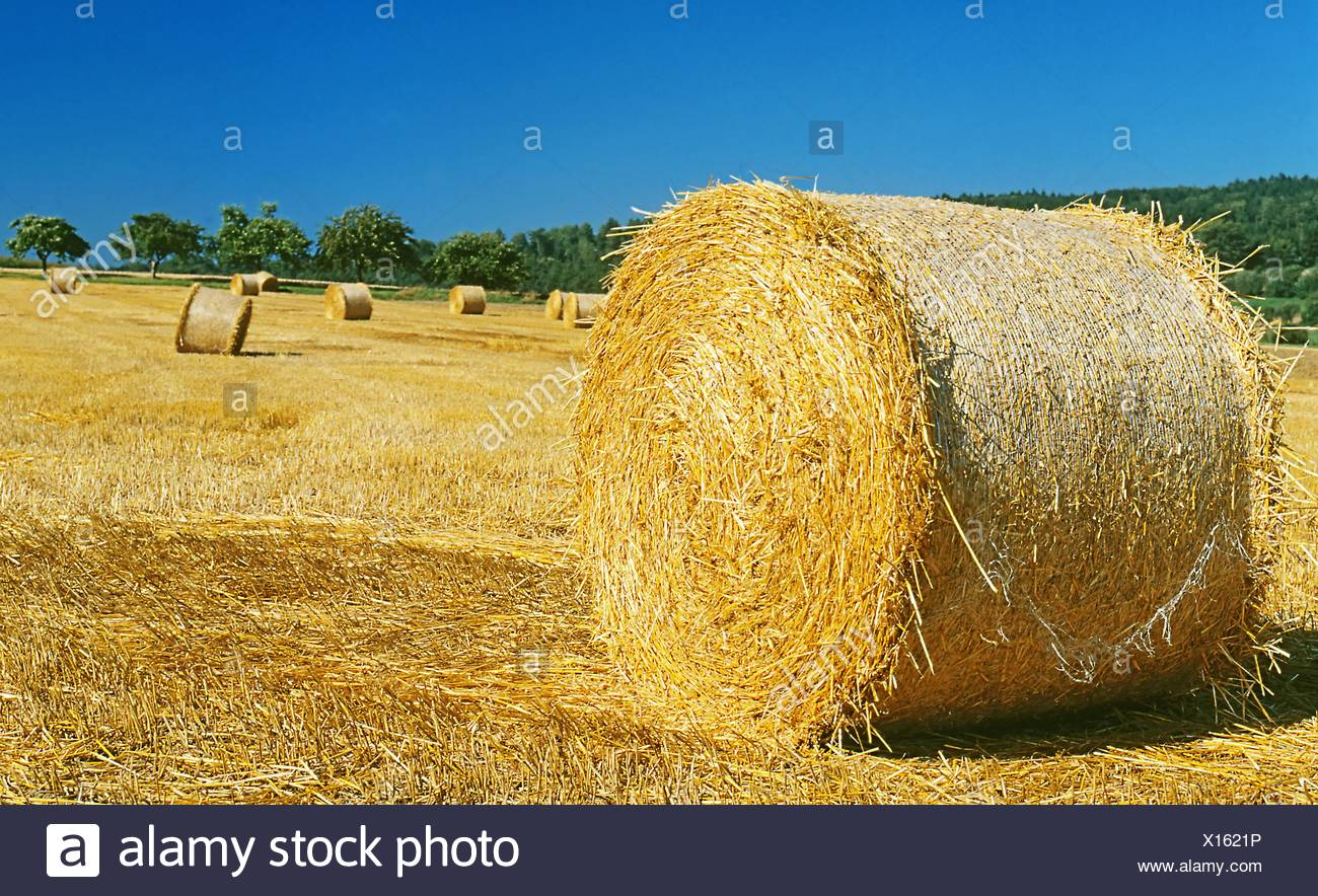Bales of straw on a field - Stock Image