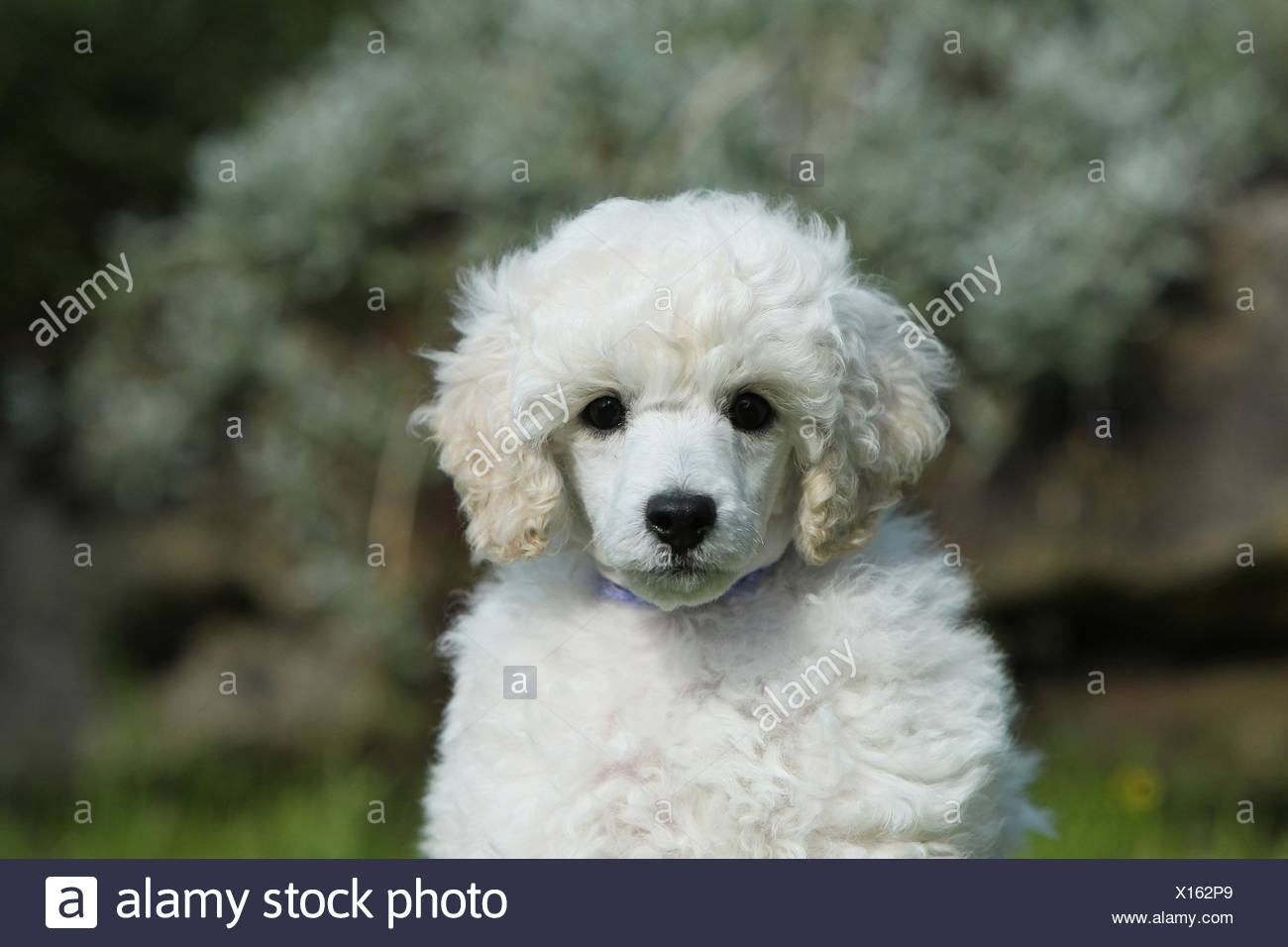 Standard Poodle Puppy Stock Photo Alamy