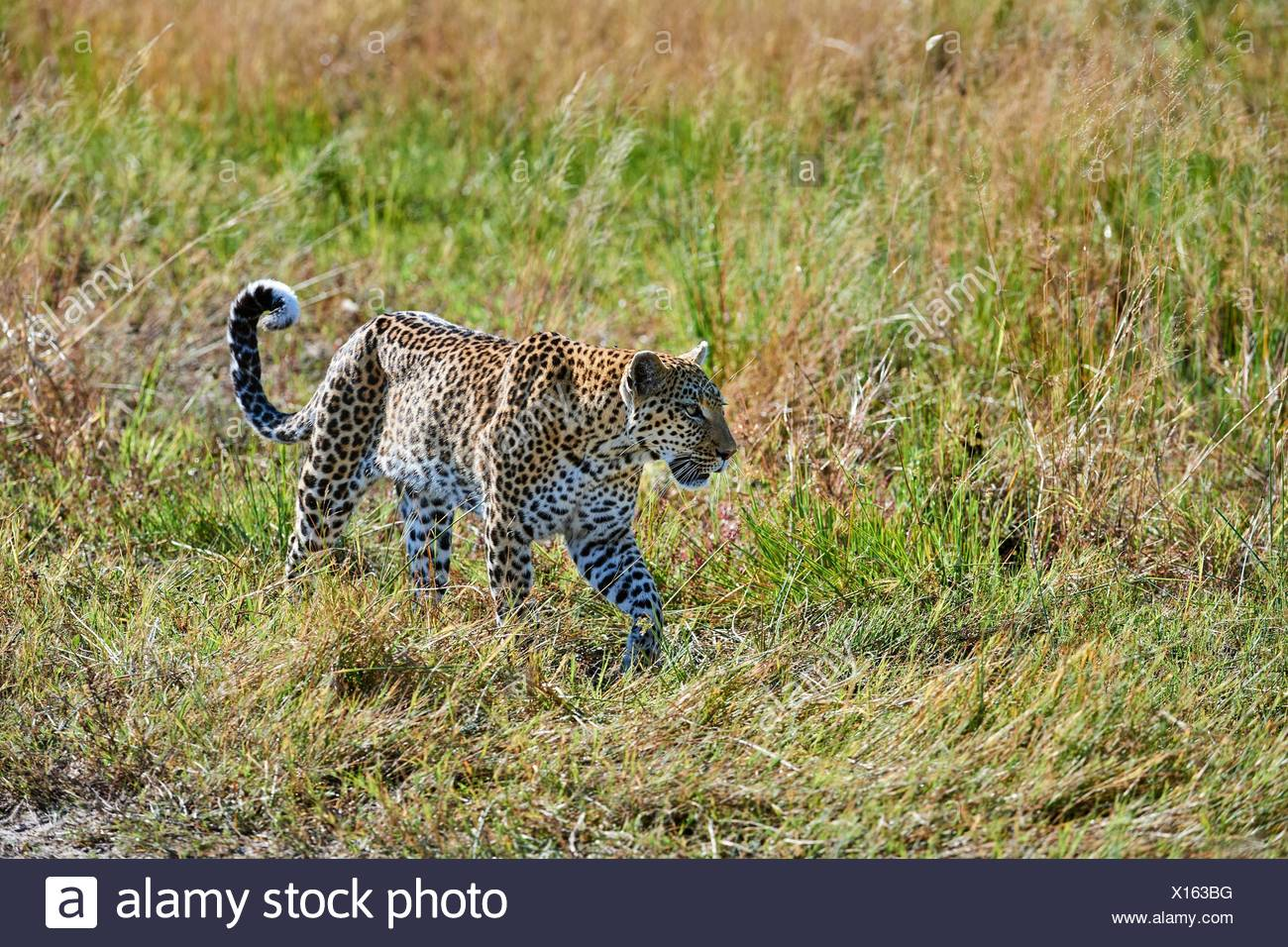 African leopard female (Panthera pardus) walking through grassland. Moremi National Park, Okavango delta, Botswana, Southern Africa. - Stock Image
