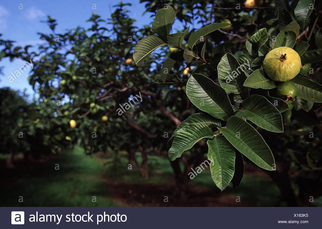 USA, Hawaii, Kauai, Kilauea,  Plantage, Anbau, Guave, Psidium guajava  Insel, Landwirtschaft, Wirtschaft, Guava Kai Plantation, Guajave, Obstanbau, Obst, - Stock Image