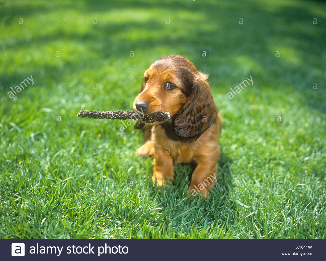 longhaired dachshund puppy with stick in muzzle Stock Photo