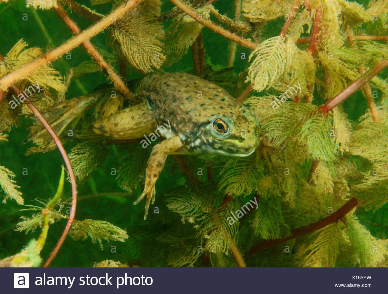 Bullfrog, tadpole, Baden-Wurttemberg, Germany / (Rana catesbeiana) - Stock Image