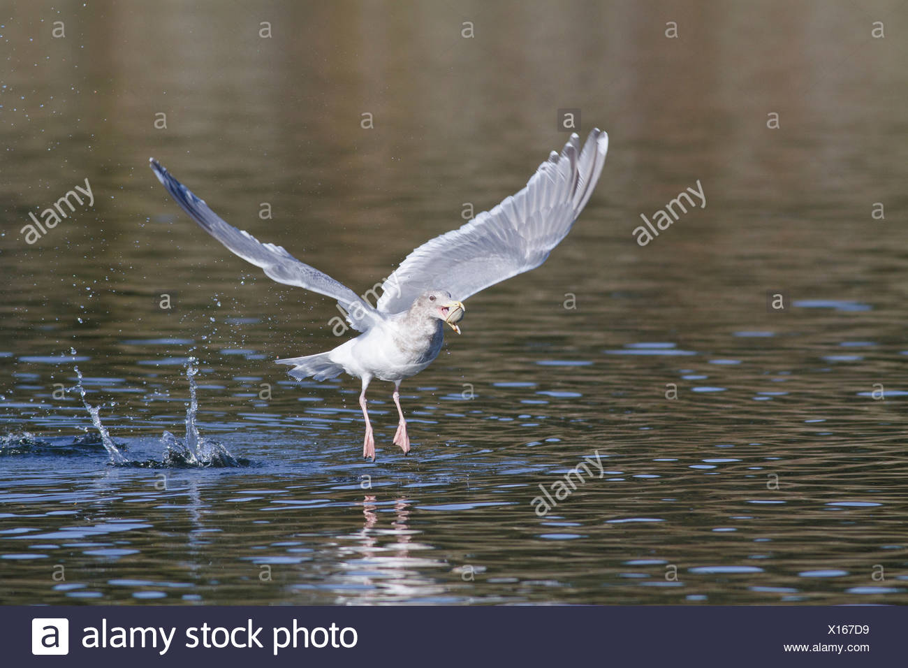 Glaucous-winged Gull (Larus glaucescens) flying near Victoria, BC, Canada. - Stock Image