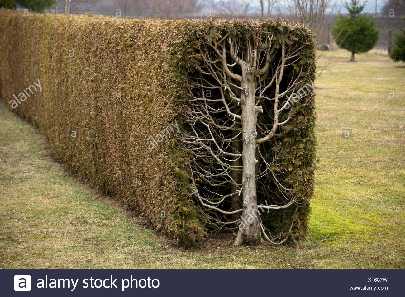 Thuja trees or arborvitae (Thuja) cut as a rectangular hedge, cross-section, Fischerhaeuser, Upper Bavaria, Bavaria - Stock Image