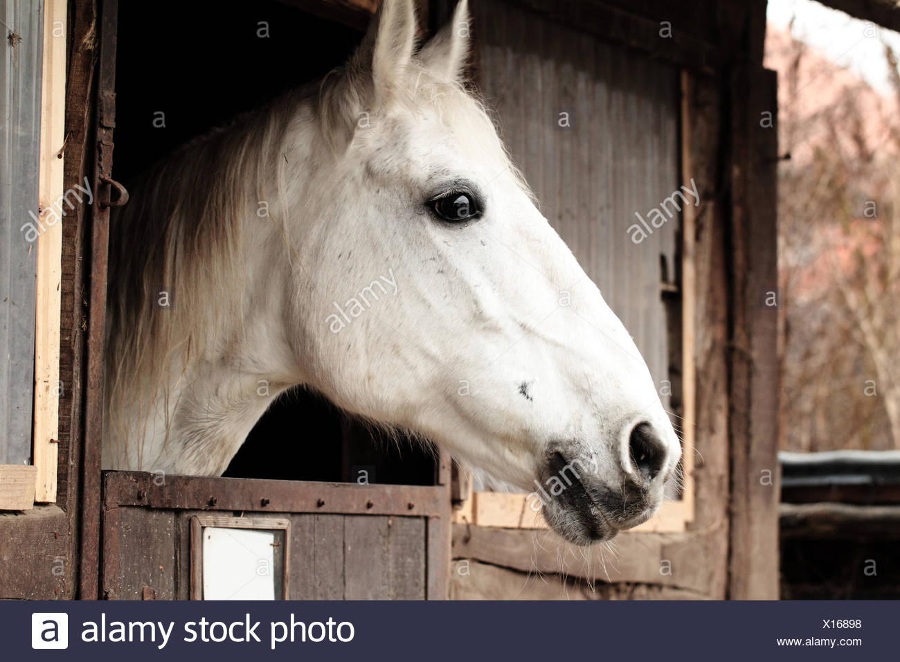 White Horse In The Stable Horse Portrait Stock Photo Alamy
