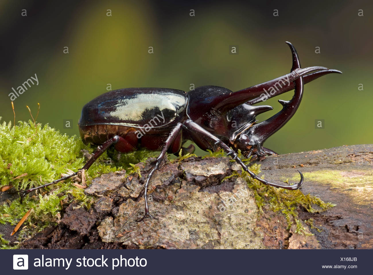 Three-horned Beetle (Chalcosoma caucasus), male on mossy bark - Stock Image