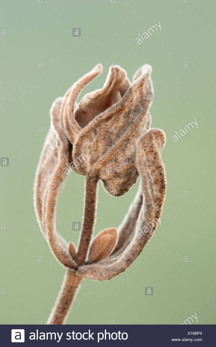 Dry Grass Seed Head Andalucia Spain - Stock Image