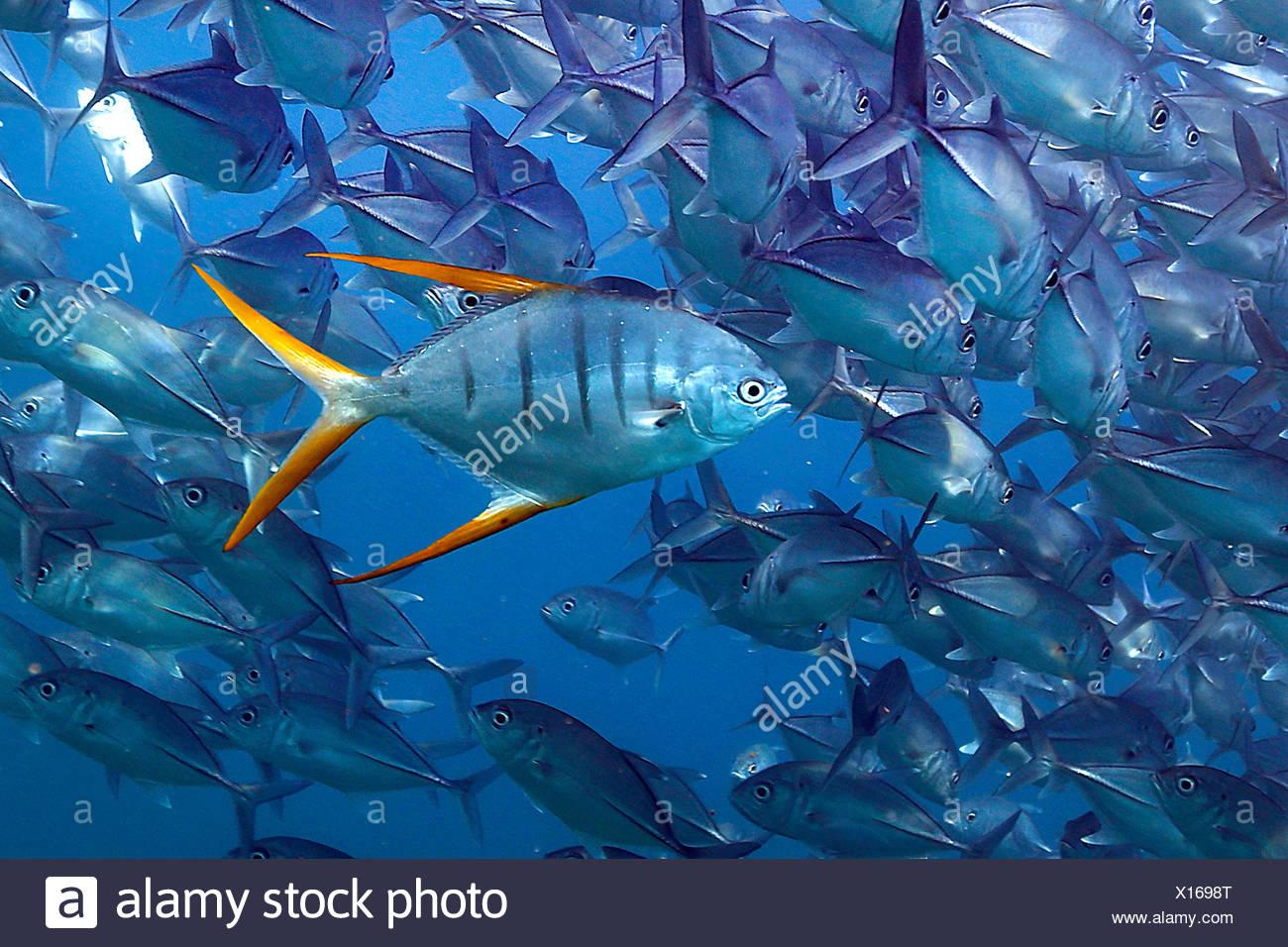 Stachelmakrele, Stachel-Makrele, Trachinotus rhodopus (Trachinotus rhodopus), schwimmend vor Fischschwarm, Costa Rica | Gafftops - Stock Image
