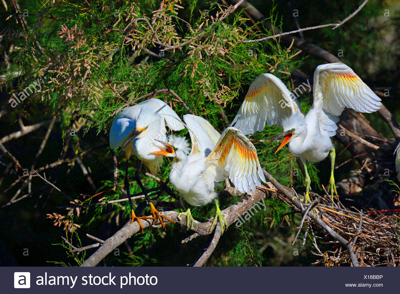 little egret (Egretta garzetta), juvenile birds calling for food, standing in a tamarisk, France, Camargue Stock Photo