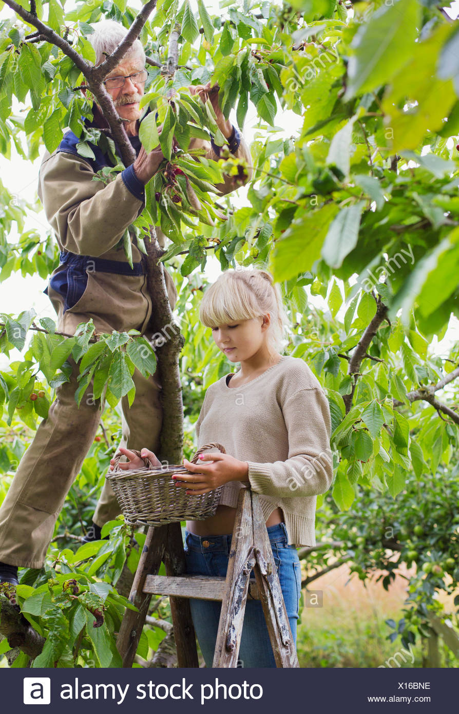 Grandfather and granddaughter harvesting in orchard - Stock Image