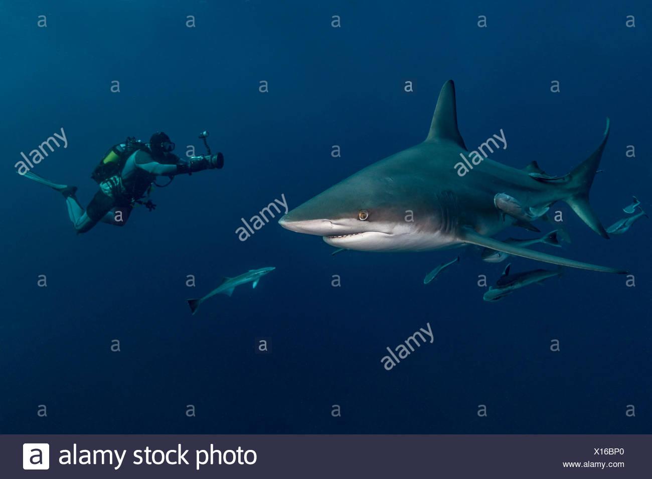 Scuba diver filming Oceanic Blacktip Shark (Carcharhinus Limbatus), Aliwal Shoal, South Africa Stock Photo
