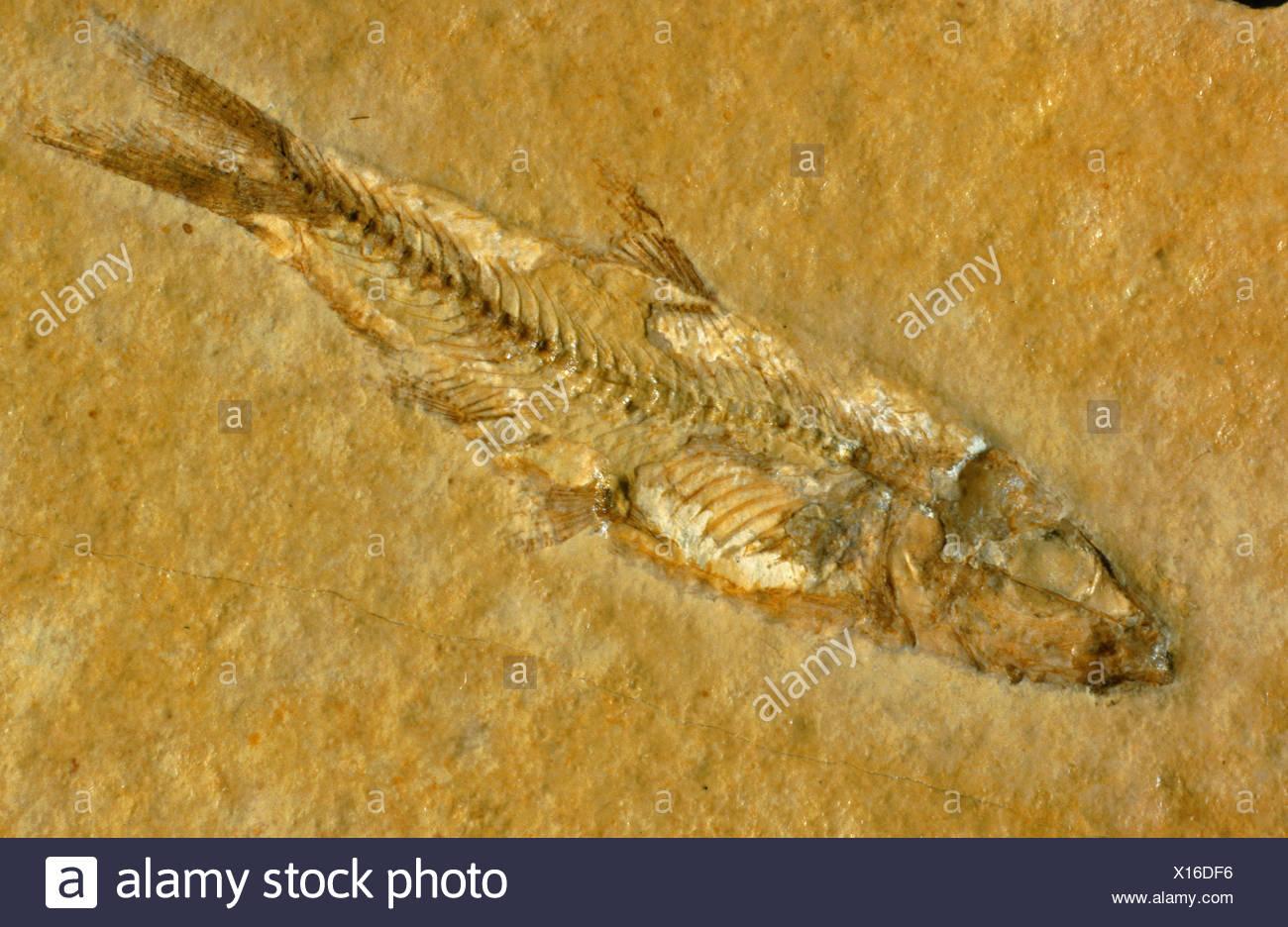 fish (Leptooeepis knorrii), fossil, Germany, Bavaria - Stock Image