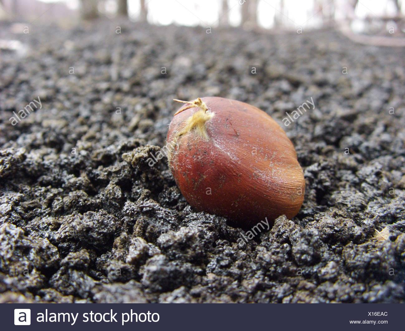 Spanish chestnut, sweet chestnut (Castanea sativa), chestnut on a lava field at the northern slope of Mount Etna, Italy, Sicilia - Stock Image