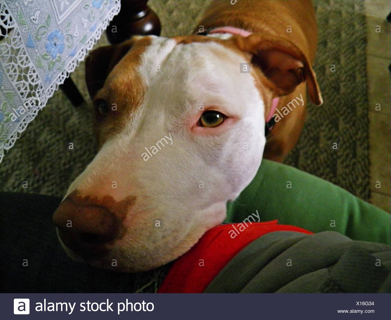 Red Nose Pitbull - Stock Image
