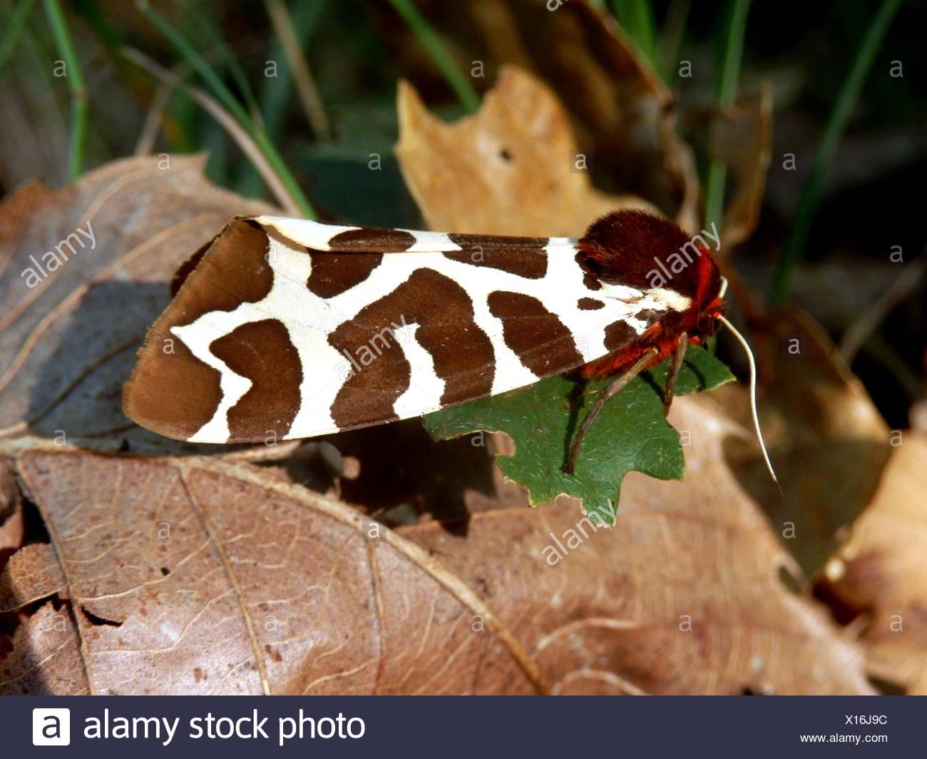 Garden Tiger Moth Stock Photo: 276126632 - Alamy