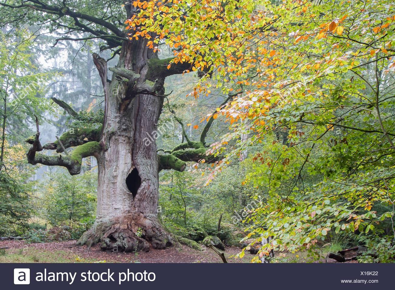 English oak (Quercus robur) in Urwald Sababurg, autumn, Hesse, Germany - Stock Image