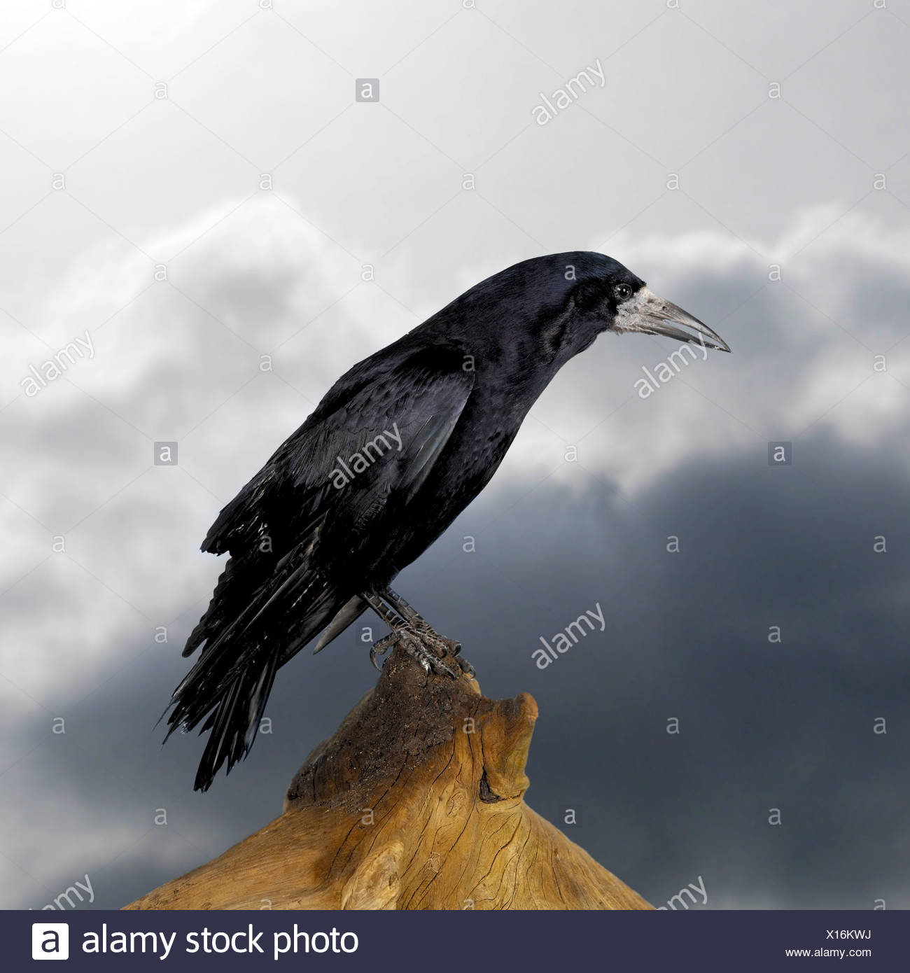 Rook perched on tree stump - Stock Image