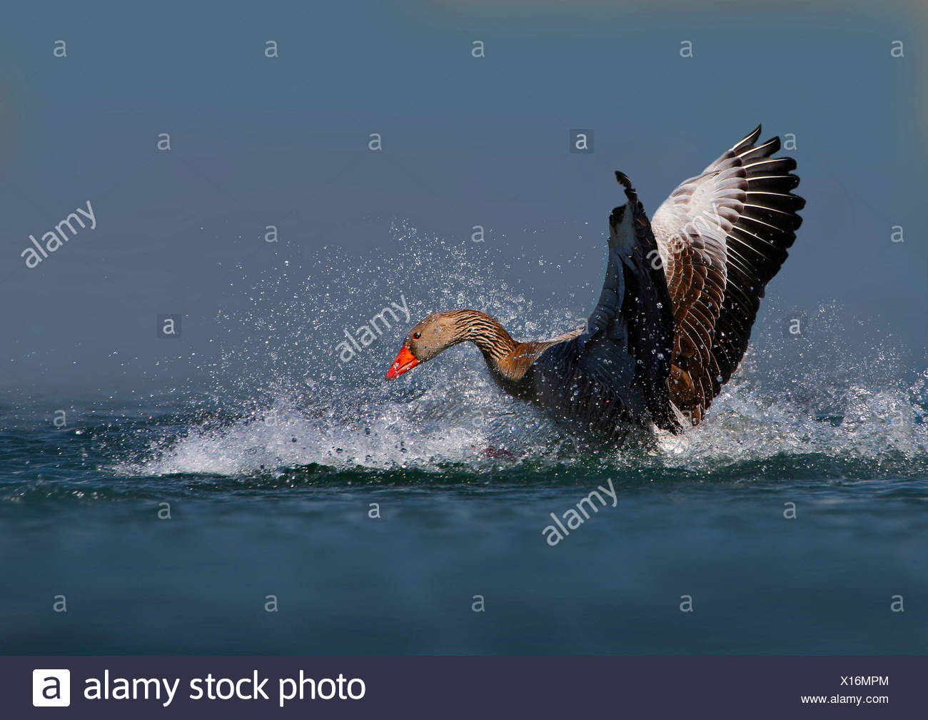 greylag goose (Anser anser), bathing, Germany - Stock Image