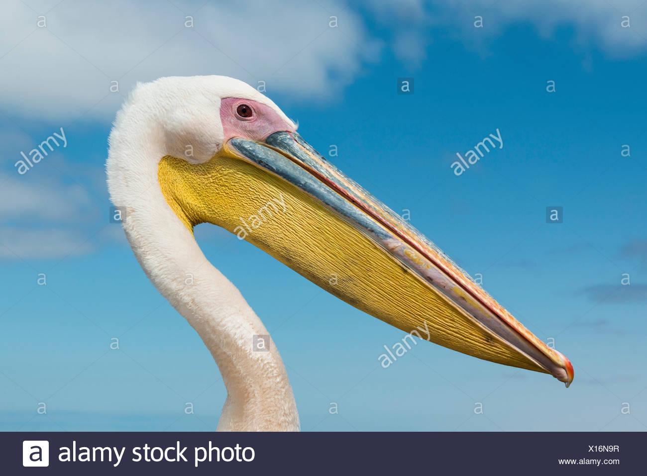 Great White Pelican (Pelecanus onocrotalus), portrait, Walvis Bay, Namibia - Stock Image