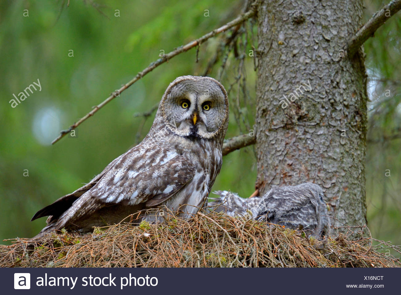great grey owl (Strix nebulosa), on the nest with chicks, Finland Stock Photo