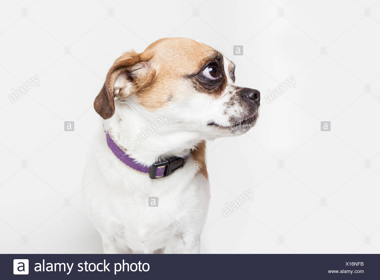 Portrait of a young mixed breed dog. - Stock Image