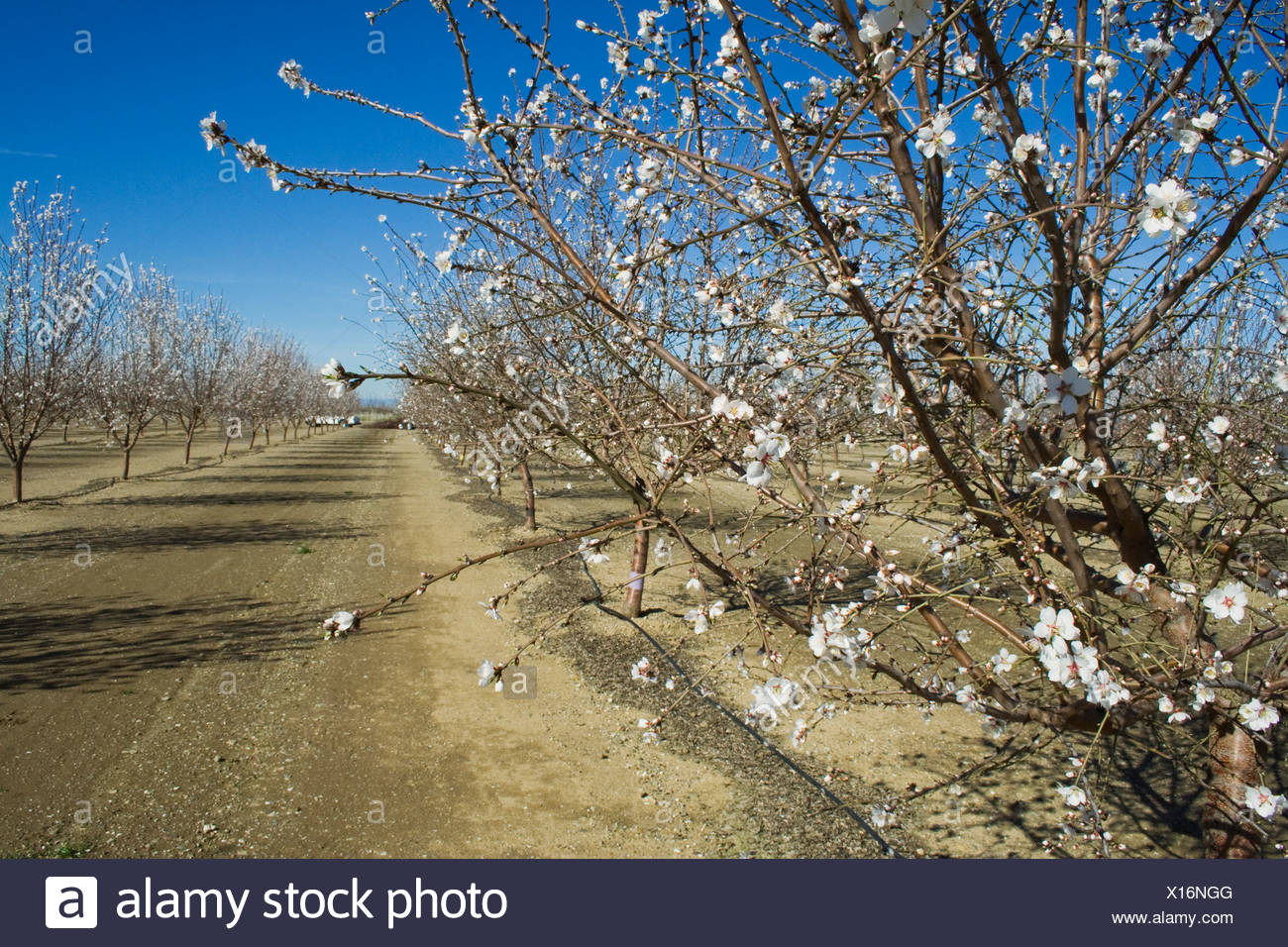 Almon orchard being used in a minimal pruning research project conducted by the University of California / California, USA. - Stock Image