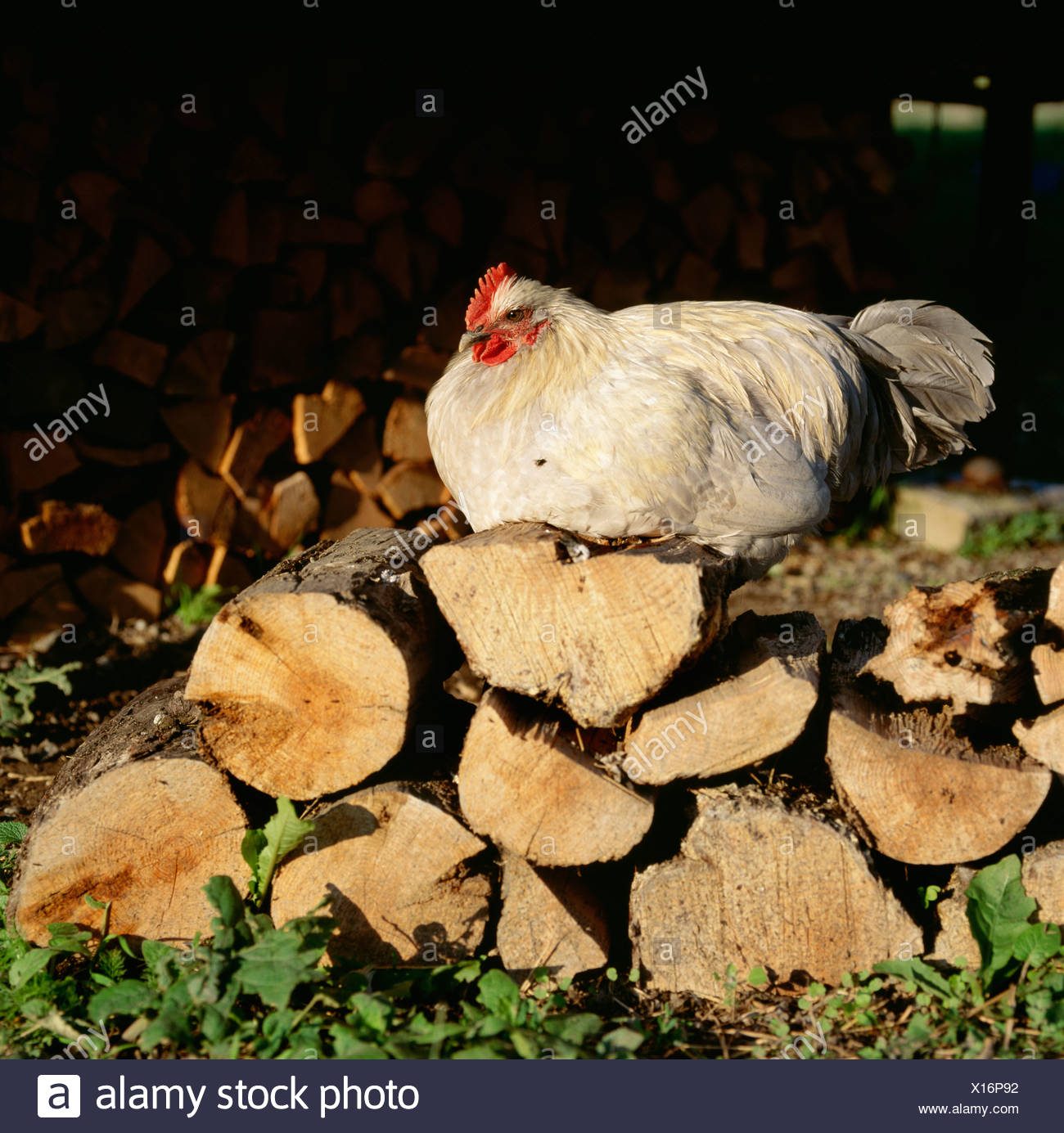A hen in a farm, Sweden. - Stock Image