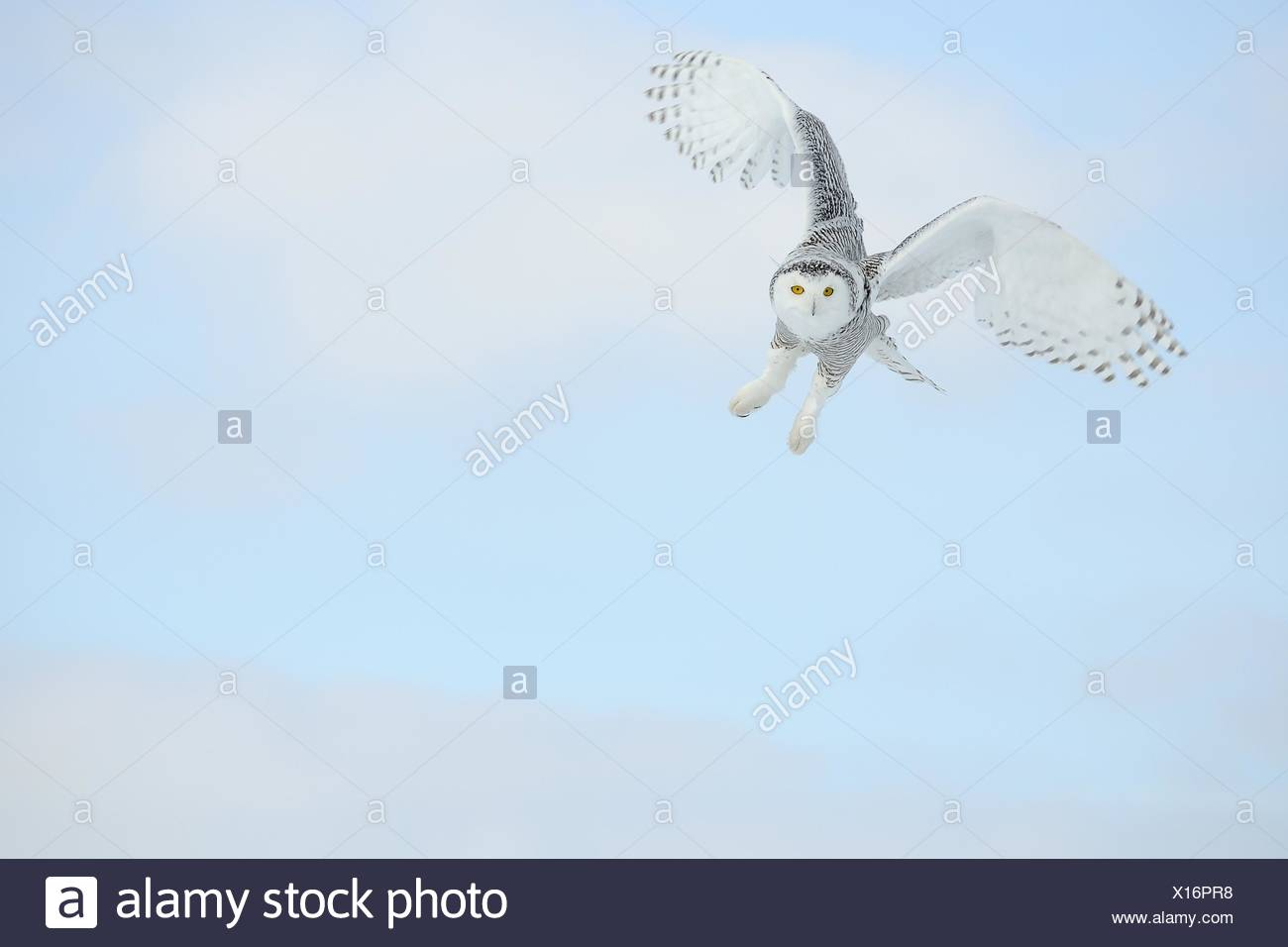 Owl Flying In The Sky, Mirabel, Canada - Stock Image