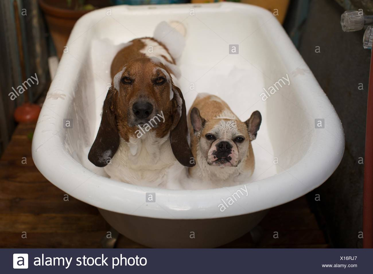 Basset hound and French bulldog in bathtub covered in soap suds looking at camera - Stock Image