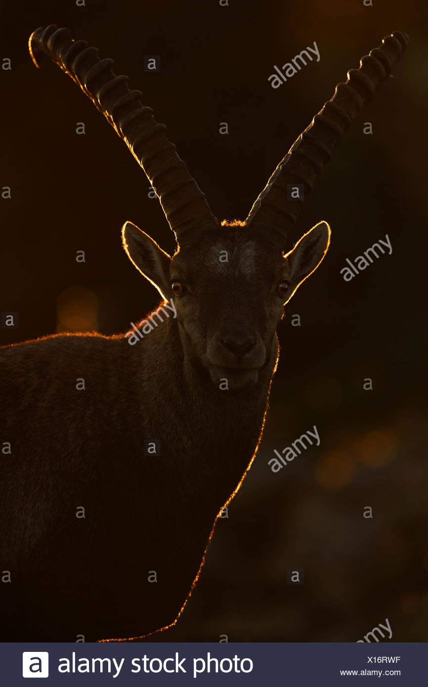 Alpine ibex (Capra ibex) male at dawn, Bernese Alps, Switzerland. - Stock Image