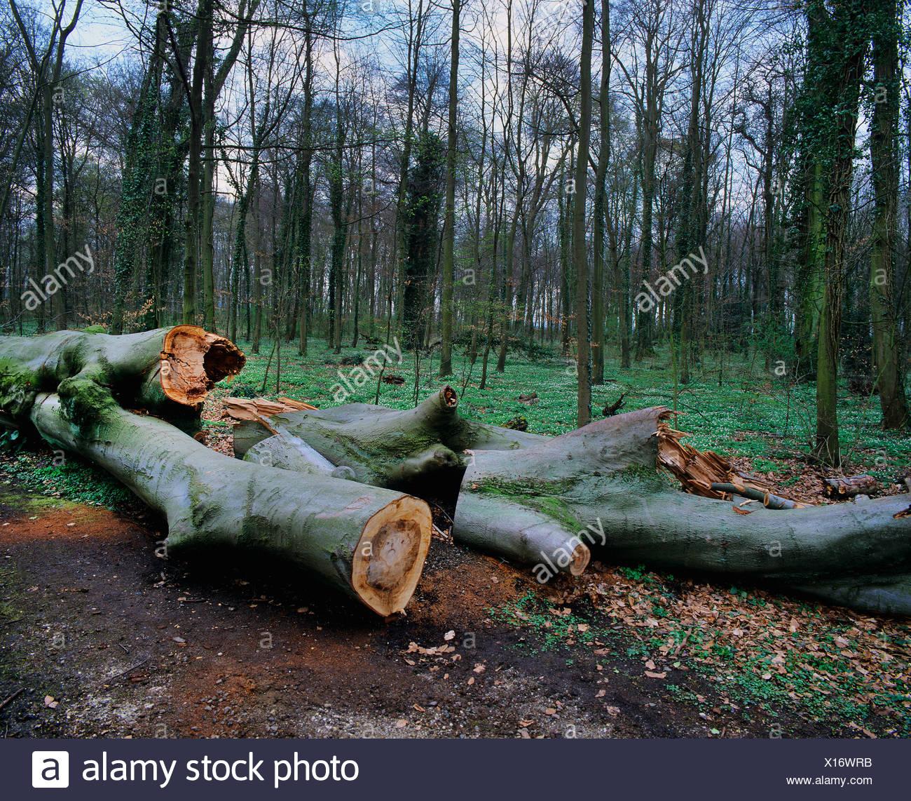 Wind breakage, cut up trunks of fallen trees, European beech, common beech (Fagus sylvatica) - Stock Image
