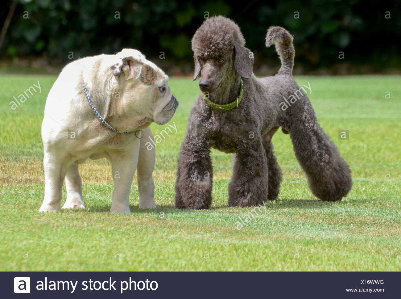 Two pedigree puppies black miniature poodle (left) and