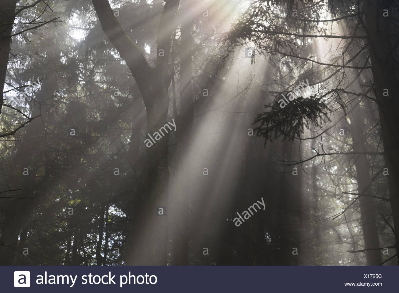 sunbeam in a forest - Stock Image