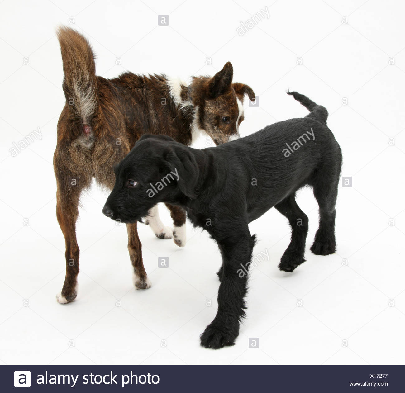 Collie cross, Brec, with hackles raised, showing assertiveness over black puppy. - Stock Image