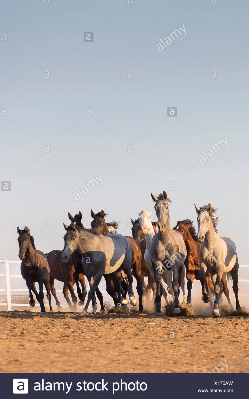 Pure Spanish Horse, Andalusian. Herd of juvenile stallions galloping on sandy ground. Spain - Stock Image