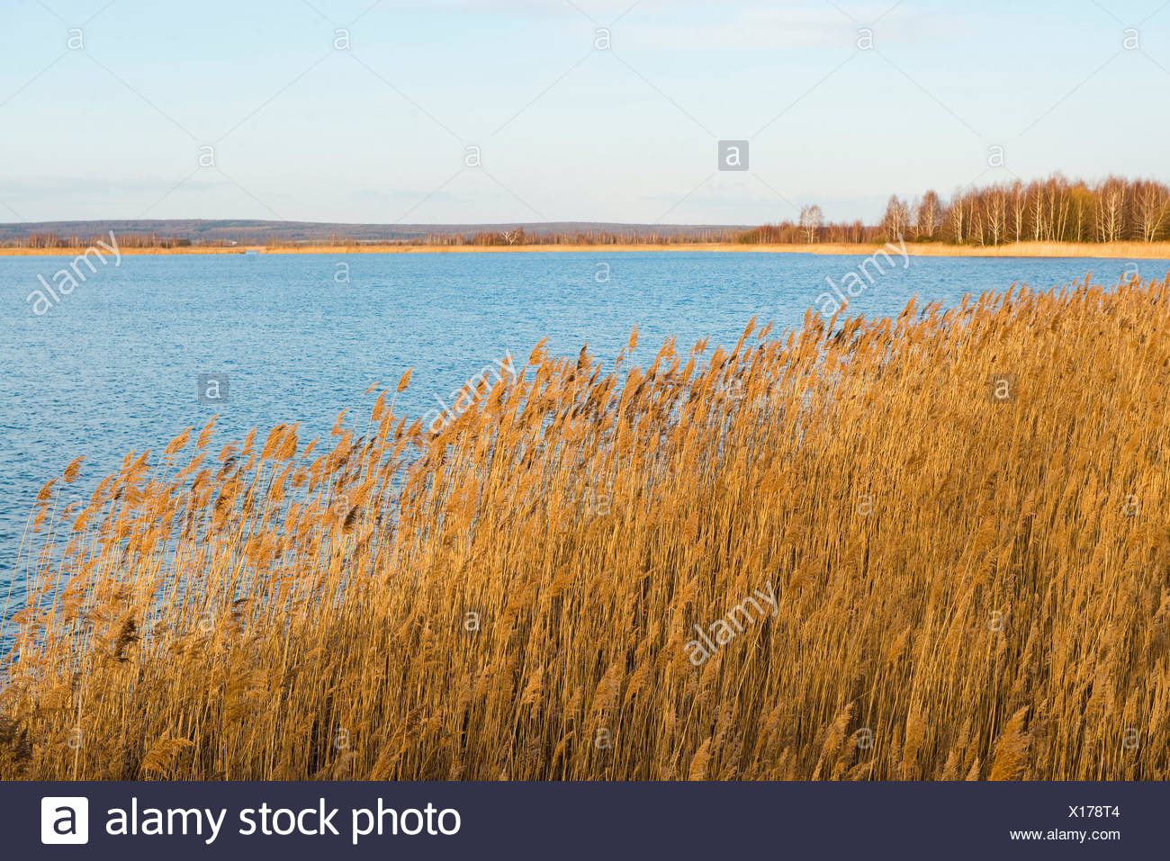 Common Reed (Phragmites australis, Phragmites communis) and an expanse of water, Heerter See Nature Reserve, Lower Saxony - Stock Image