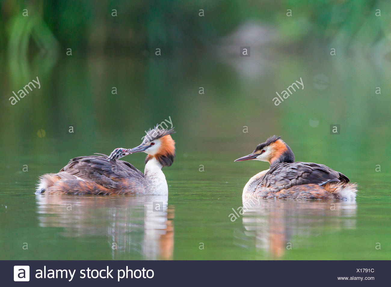 Great Crested Grebes (Podiceps cristatus) feeding a chick, North Hesse, Hesse, Germany - Stock Image