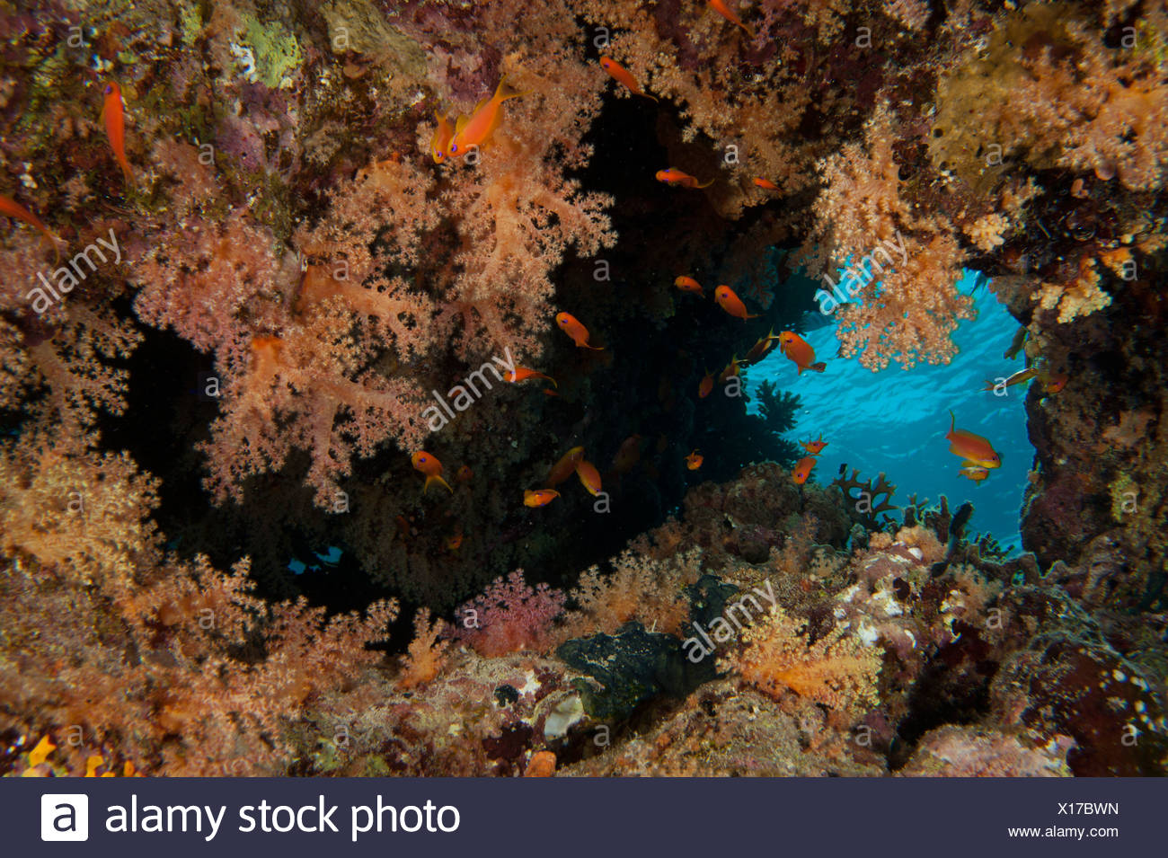 Sof coral group with Jewel fairy basslets Red Sea Egypt - Stock Image