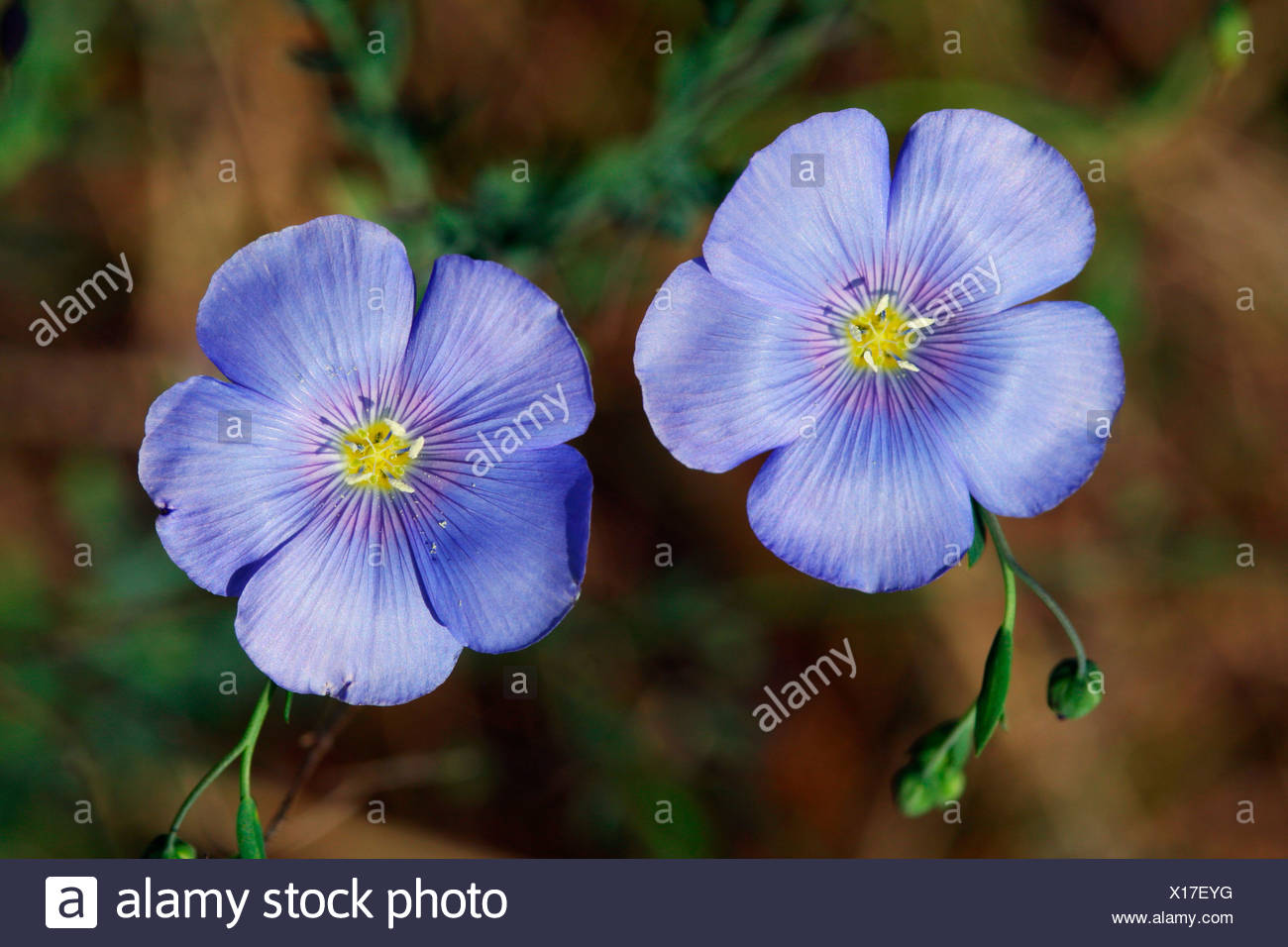 Perennial Flax, Blue flax, (Linum perenne) - Stock Image