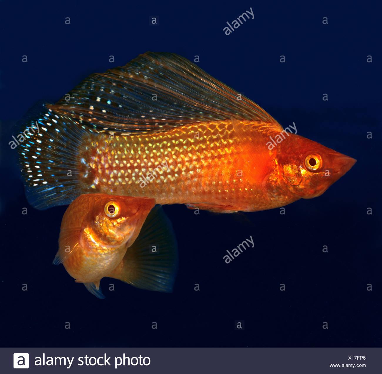 Yucatan Molly (Poecilia velifera). Two individuals in an aquarium Stock Photo