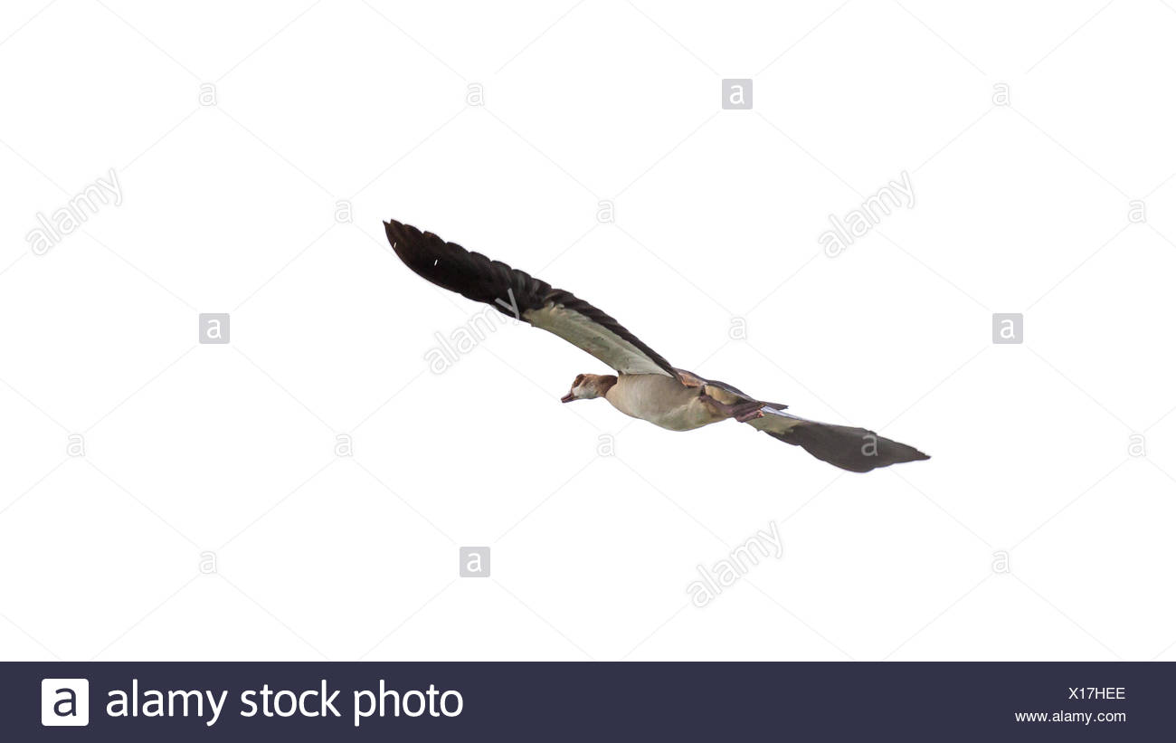 Egyptian Goose in mid flight - Stock Image