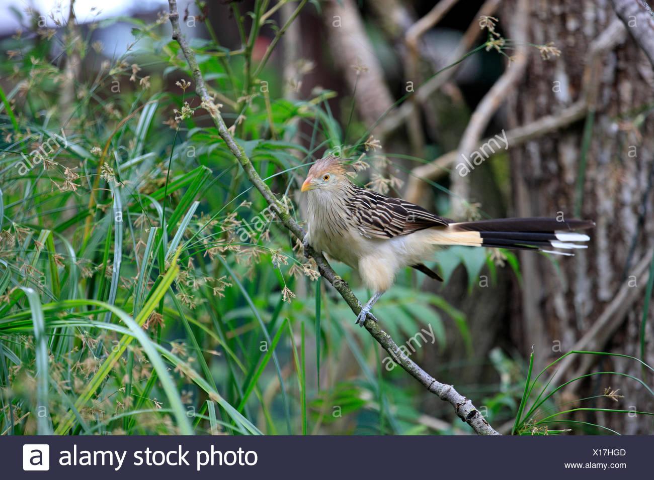 Guirakuckuck, (Guira guira), Suedamerika, adult, Baum, Kuckuck  Guira Cuckoo, (Guira guira), South America  Guira Cuckoo, (Guira - Stock Image